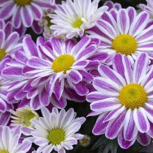 chrysanthèmes blanc pourpre lilas d inflorescence de marguerites fleurs éternelles jardin avec un centre jaune grand bouquet 149018706